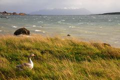 Ultima Esperanza Sound. Goose facing into a typical Patagonian wind overlooking Ultima Esperanza Sound outside Puerto Natales, Chile Royalty Free Stock Image