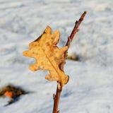 Ultima foglia della quercia su un ramo Immagine Stock