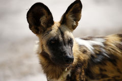 The Ultimate African Hunter. Rare African Wild hunting dog cooling off Stock Photography