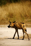 The Ultimate African Hunter. Rare African Wild hunting dog cooling off Stock Images