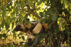 The Ultimate African Hunter. Rare African Wild hunting dogs watching prey animals Royalty Free Stock Photo