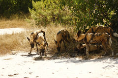 The Ultimate African Hunters the Wild Dog Stock Image