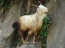 White goat on the rocks. Wandering in mountains,  climbing the rocks, really a goat, mountaineer it mocks Stock Photo