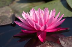 Ultimate pink waterlily Stock Photos