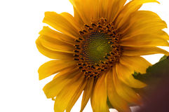 Ultimate Sunflower 2. Sunflower on White stock images