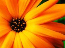 Ultra Bright calendula Stock Image
