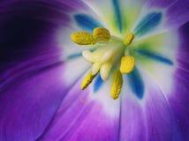 Ultra Bright Multi Colored Tulip Stock Photo