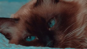 Ultra close-up of Siamese cat with moving blue eyes. An ultra close-up of a Siamese female cat with moving deep blue eyes stock footage