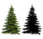 Ultra detailed Picea spruce tree with silhouette included. Isolated on a white background Stock Photos