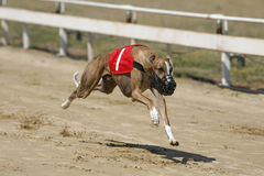 Ultra fast greyhound flying over race track. Running racing greyhound dog on racing track Royalty Free Stock Photo