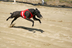 Ultra fast greyhound flying over race track. Sprinting dynamic greyhound on the race course royalty free stock photography