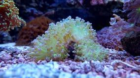 Ultra grüne euphyllia frogspawn Langspielplatten korallenrot Lizenzfreie Stockbilder