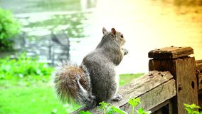 ULTRA HD 4k, real time,Eastern gray squirrel eating seeds in the park stock video footage