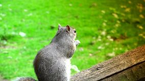 ULTRA HD 4k, real time,Eastern gray squirrel eating seeds in the park stock video
