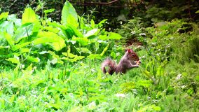 ULTRA HD 4k, real time,Eastern gray squirrel eating seeds in the park stock footage