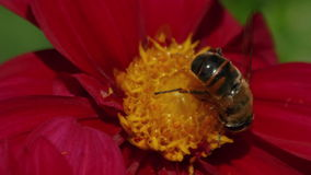 Ultra Macro Shot of a Bee Pollinating a Red Flower. An ultra macro shot of a bee pollinating a flower with dark red petals and a vivid yellow core stock video