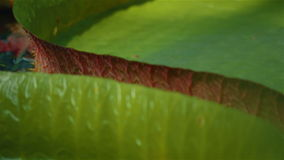 Ultra Macro Shot of Giant Water Lilies. A pull focus ultra macro shot of giant water lilies stock video footage
