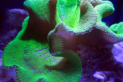 Ultra Neon Green polyp Crown Leather coral Stock Image