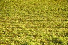Ultra pomarańczowej trawy tekstura od pola w wiośnie, projektów szczegóły Obraz Royalty Free