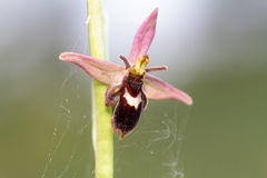 Ultra Rare Wild Hybrid Bee / Spider Orchid, Ophrys luizetii. Macro Picture of an Ultra Rare Wild Hybrid Bee / Spider Orchid, Ophrys luizetii with blurred Stock Photo