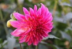 Ultra roze dahlia De tuin van de herfst Een kar met een stapel van gevallen bladeren Stock Foto