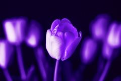 Ultra Violet Background from Spring Tulip Flowers stock image