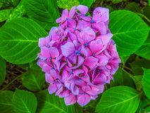 Ultra violet flower. Beautiful ultra violet flower surrounded with thick green leaves, Photo is taken in Royal Botanic garden in Melbourne, Australia Stock Photos