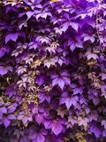 Ultra violet grape leaves Stock Photography