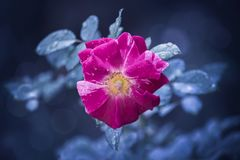 Ultra Violet Rose Royalty Free Stock Photography