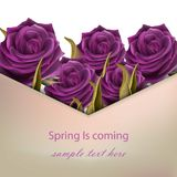 Ultra violet Roses flower greeting. Spring is coming card Vector. Illustration Stock Images