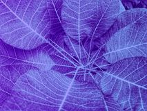 Ultra violet transparent leaves in closeup