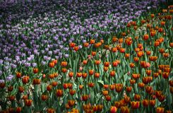 Ultra violet tulips, srgb image. Ultra violet tulips blooming, in China Xi`an Stock Images