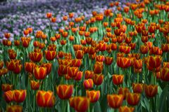 Ultra violet tulips, srgb image. Ultra violet tulips blooming, in China Xi`an Stock Photography