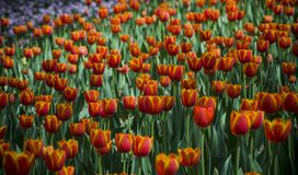 Ultra violet tulips, srgb image. Ultra violet tulips blooming, in China Xi`an Royalty Free Stock Photos