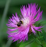 Ultra violet world of a bumble bee. Photo of ultra violet world of a bumble bee landing on a thistle plant in full bloom Stock Photography