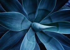 Ultrafioletowy stonowany zakończenie w górę agawy rośliny Fotografia Royalty Free
