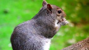 ULTRAhd echt 4k, - tijd, Oostelijke grijze eekhoorn die zaden in het park eten stock video