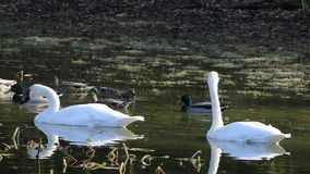UltraHD Pair of Trumpeter Swan, Cygnus buccinator, feeding in wetlands stock video