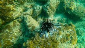 Ultrahd slowmotion underwater shot of a sea urchin in a tropical sea.  stock video