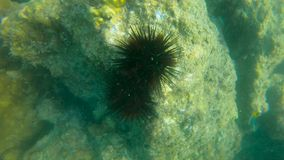 Ultrahd slowmotion underwater shot of a sea urchin in a tropical sea.  stock footage