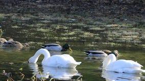 UltraHD Trumpeter Swan, Cygnus buccinator, feeding stock footage