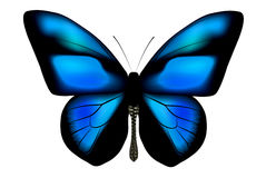 Ultramarine Butterfly Royalty Free Stock Photo