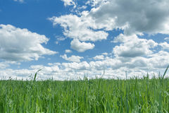 Ultramarine cloudy heaven above farm green oat and pea field Stock Photo