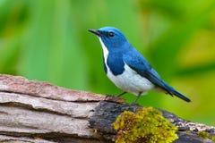 Free Ultramarine Flycatcher Bird Stock Photography - 63761102