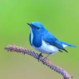 Ultramarine flycatcher bird. Beautiful colorful bird (Ultramarine flycatcher) perching on a branch Royalty Free Stock Photography