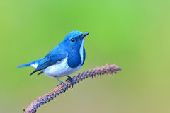 Ultramarine flycatcher bird. Beautiful colorful bird (Ultramarine flycatcher) perching on a branch Royalty Free Stock Images