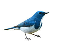 Ultramarine flycatcher bird Stock Image