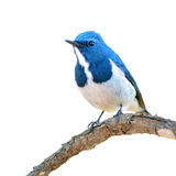 Ultramarine Flycatcher bird Stock Photography