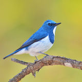 Ultramarine Flycatcher bird Royalty Free Stock Image