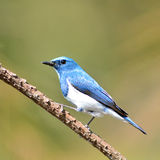 Ultramarine Flycatcher bird Royalty Free Stock Images